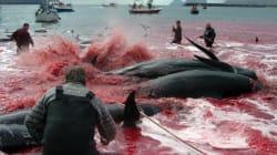 «Καλώς ήρθατε» στις Νήσους Φερόε: Νερά κόκκινα από το αίμα πτωμάτων δελφινιών και