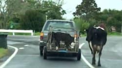 Μαμά αγελάδα τρέχει πίσω από τα μικρά της που τα πήραν και τα μεταφέρουν μέσα σε κλουβί