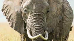Ελέφαντας σκοτώνει άνδρα επειδή προσπάθησε να τον βγάλει