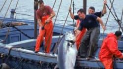 Thon rouge: le quota de pêche de l'Algérie pour 2018 revu à la