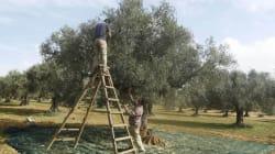Suivi de la collecte d'olives: Une hausse de 160% est prévue cette