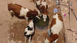 Fièvre aphteuse: Le Maroc lance une campagne de vaccination des