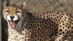 50마리도 남지 않은 아시아치타의 멸종이