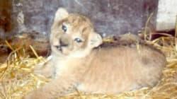 Un lionceau né au zoo du Belvédère (et il se porte
