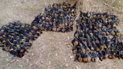 호주에서 박쥐들이 떼죽음을