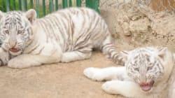Au parc Friguia, deux tigreaux blancs sont nés, une mutation génétique plutôt