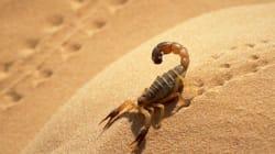 Ghardaïa: prés de 2400 victimes de piqûres de scorpion dont deux décès en