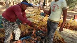 Tunisie: Hausse de 25% des exportations de dattes, des recettes record