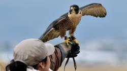 Sur l'aéroport de Mexico, des faucons pèlerins veillent à la sécurité des