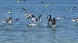 Indignation quant à la chasse aux oiseaux en Tunisie: Birdlife International