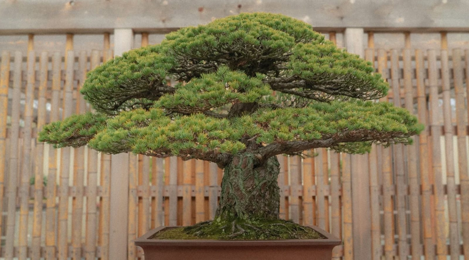 The Atomic Tree Explores Bonsai That Survived A Nuclear Blast
