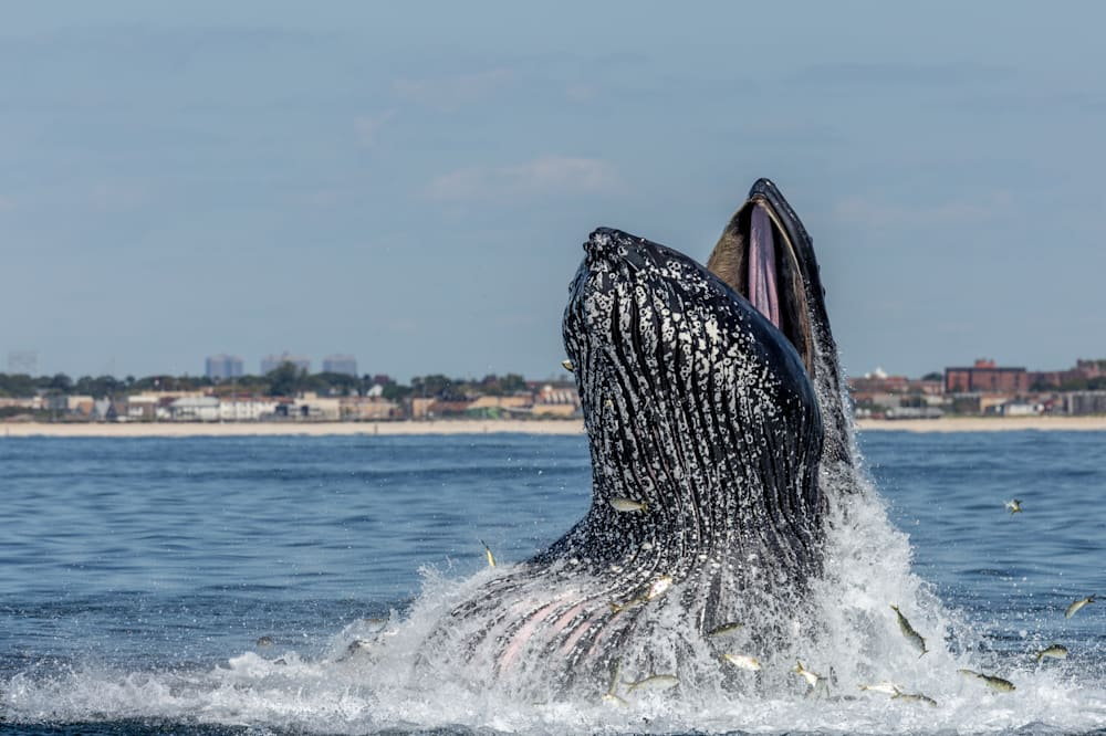 Turns Out Whales Dont Jump Out Of The Water Just For Fun AOL News - Rare moment 40 ton whale jumps completely out of the water