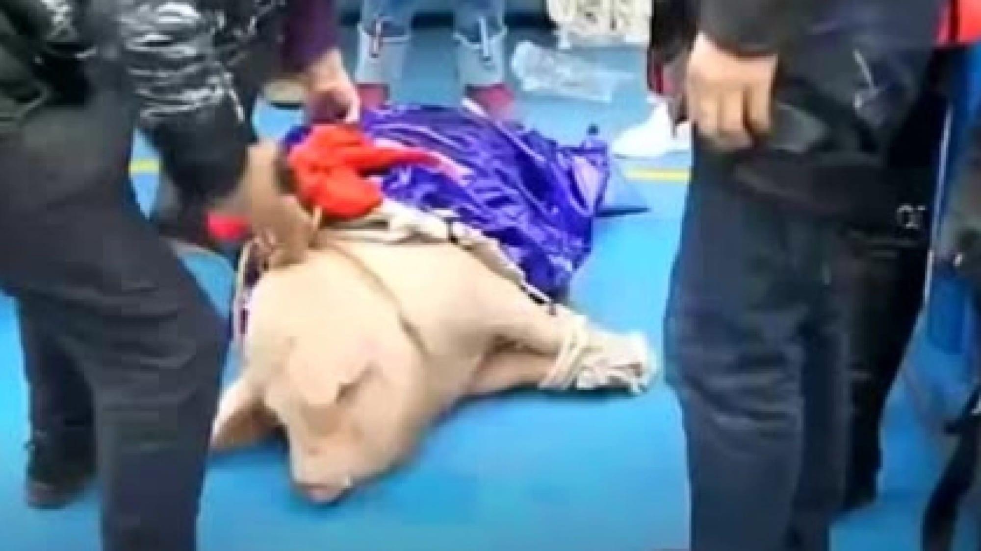 Pig on ground