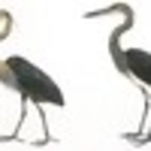 Whitebellied-Heron