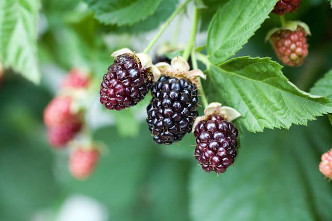 Researchers improve spinach-based solar cells by adding blackberry dye