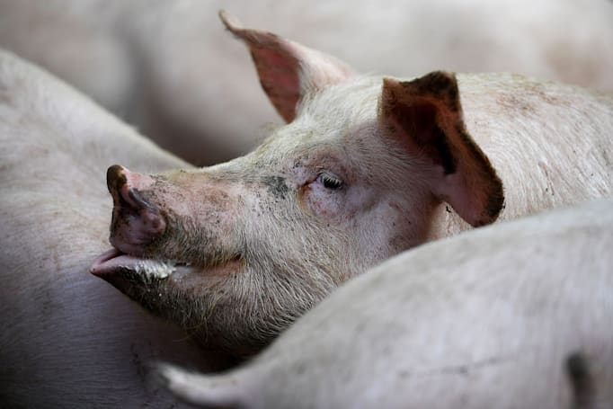 Researchers partially revive pig brains four hours after 'death'