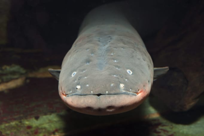 Electric eels might be the key to powering implantable devices