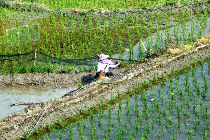 Gene-edited rice plants could boost the world's food supply