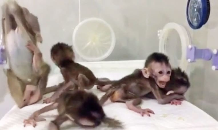 Scientists clone gene-edited monkey for circadian disorder research