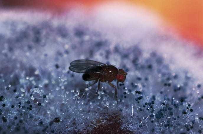 Scientists 'pickle' and map a fly's brain for the first time