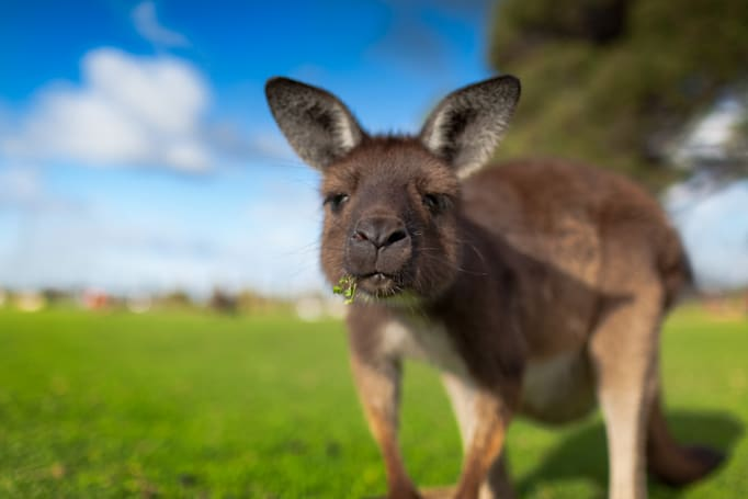 Volvo's self-driving cars are thrown off by kangaroos