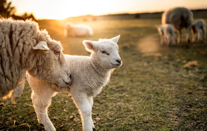 Scientists successfully grew fetal lambs inside 'uterus-like' bags