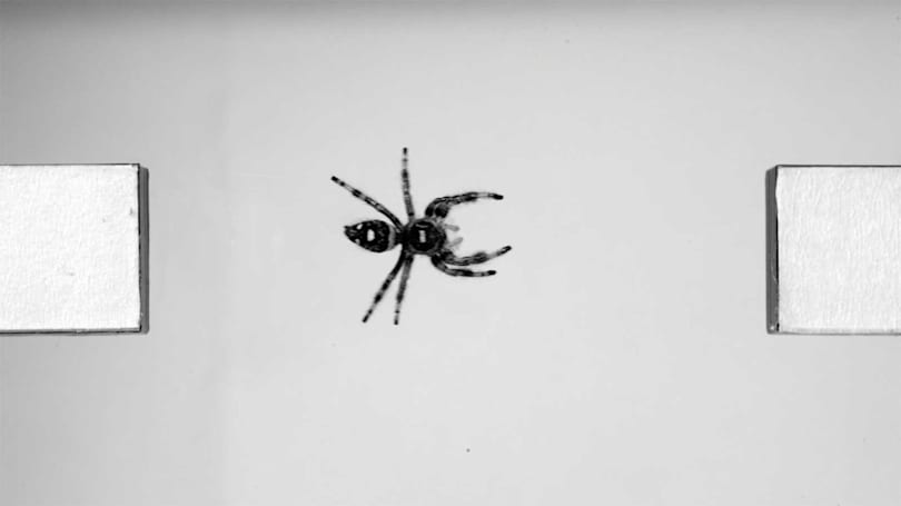 Scientists study jumping spiders to create agile robots
