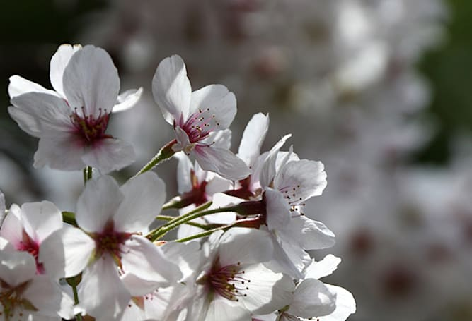 Cherry trees blossom six years early after a trip to space