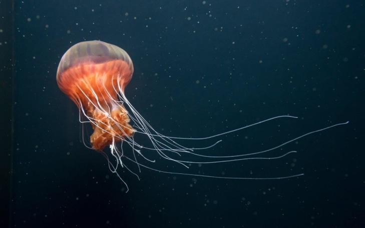 Scientists make jellyfish swim faster to prepare for deep-sea exploration