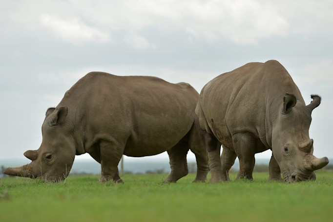 Test tube embryo transfer may give near-extinct rhinos a second chance