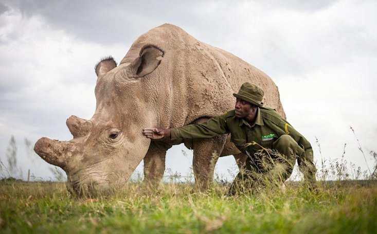 Scientists hope to save near-extinct rhinos by transforming cells
