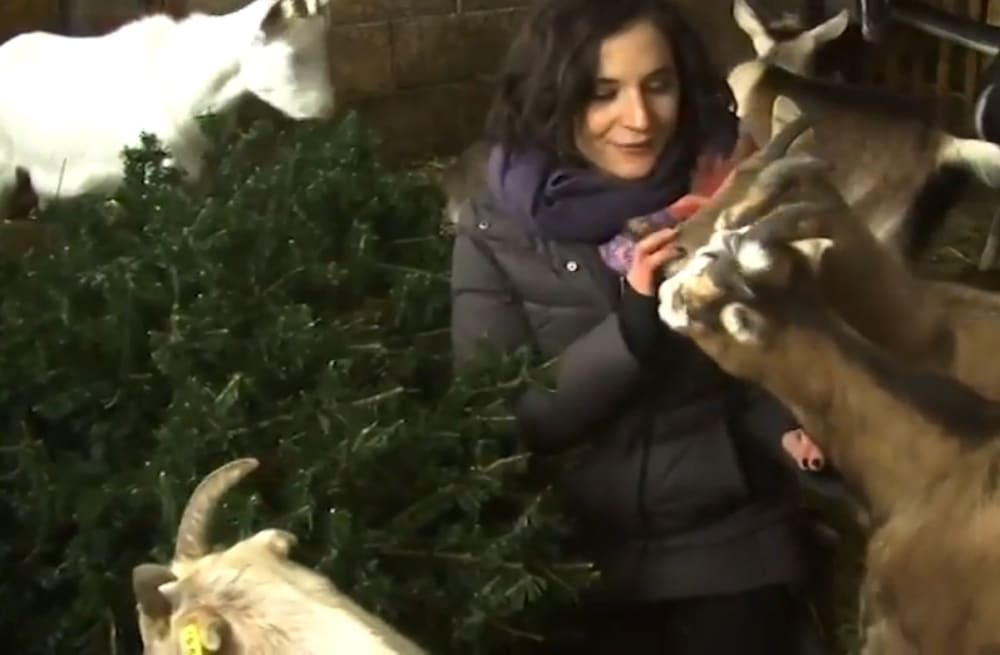 WPTZ reporter tries to film with goats, hilarity follows