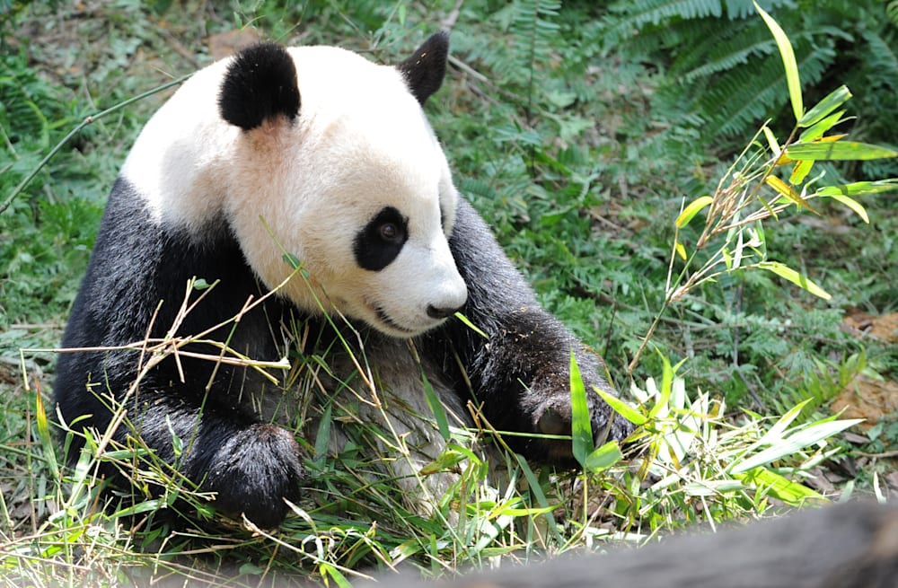 man epically fails to impress date by wrestling panda at zoo aol news