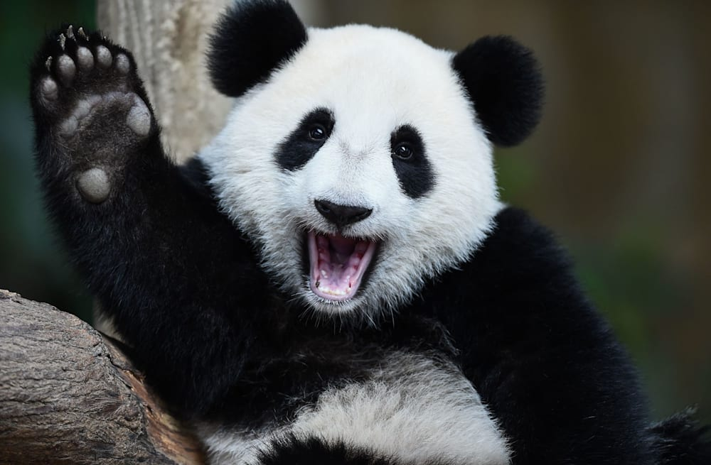 Where to go in the US to see a giant pandas - AOL News