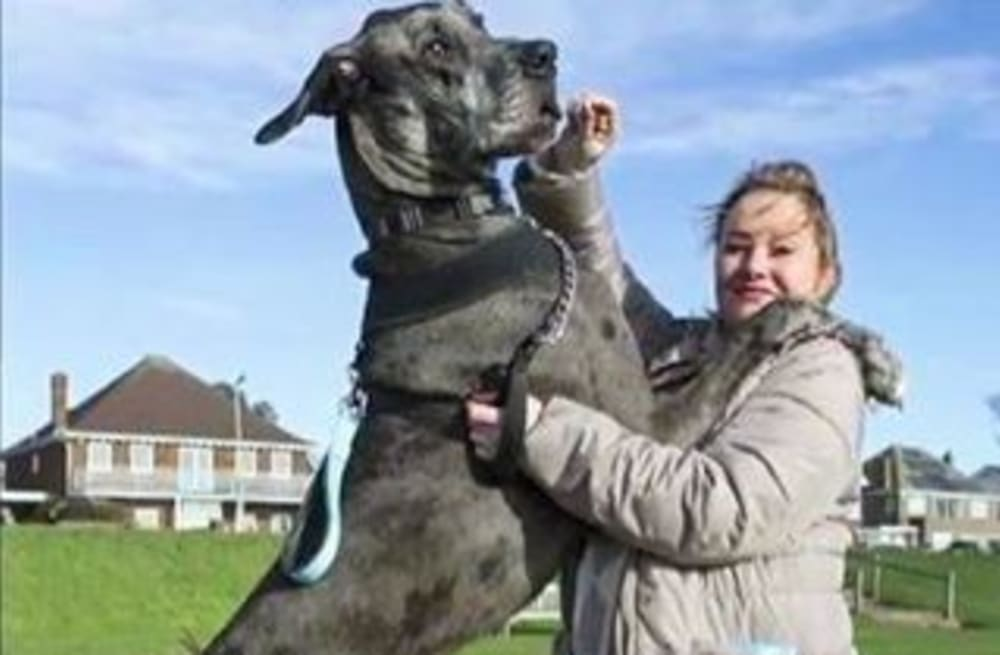 Freddy, a Great Dane, is the biggest dog in the world - AOL