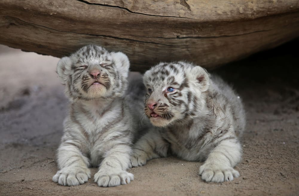zoo in ciudad juarez mexico welcomes two white tiger cubs aol news