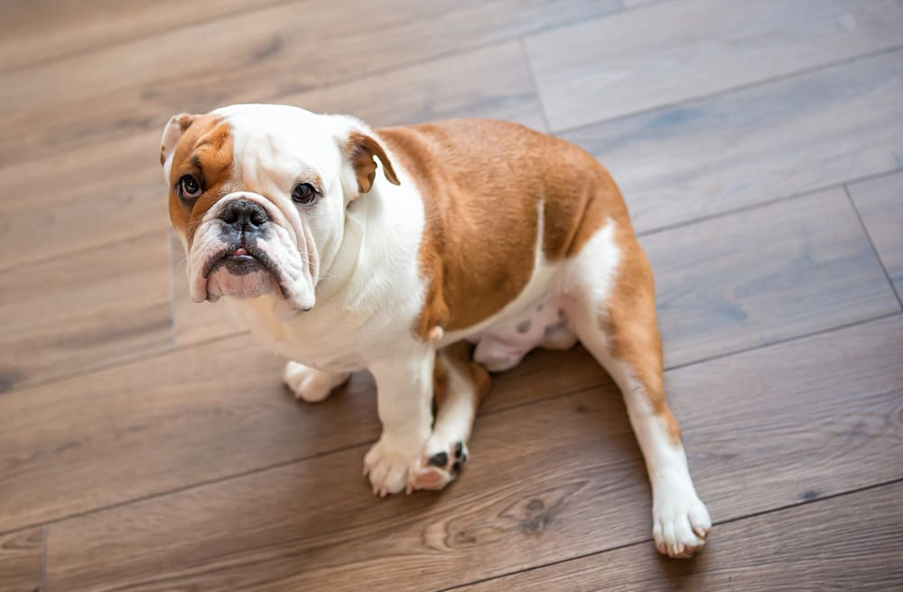 5 popular dog breeds to think twice about, according to a vet - AOL