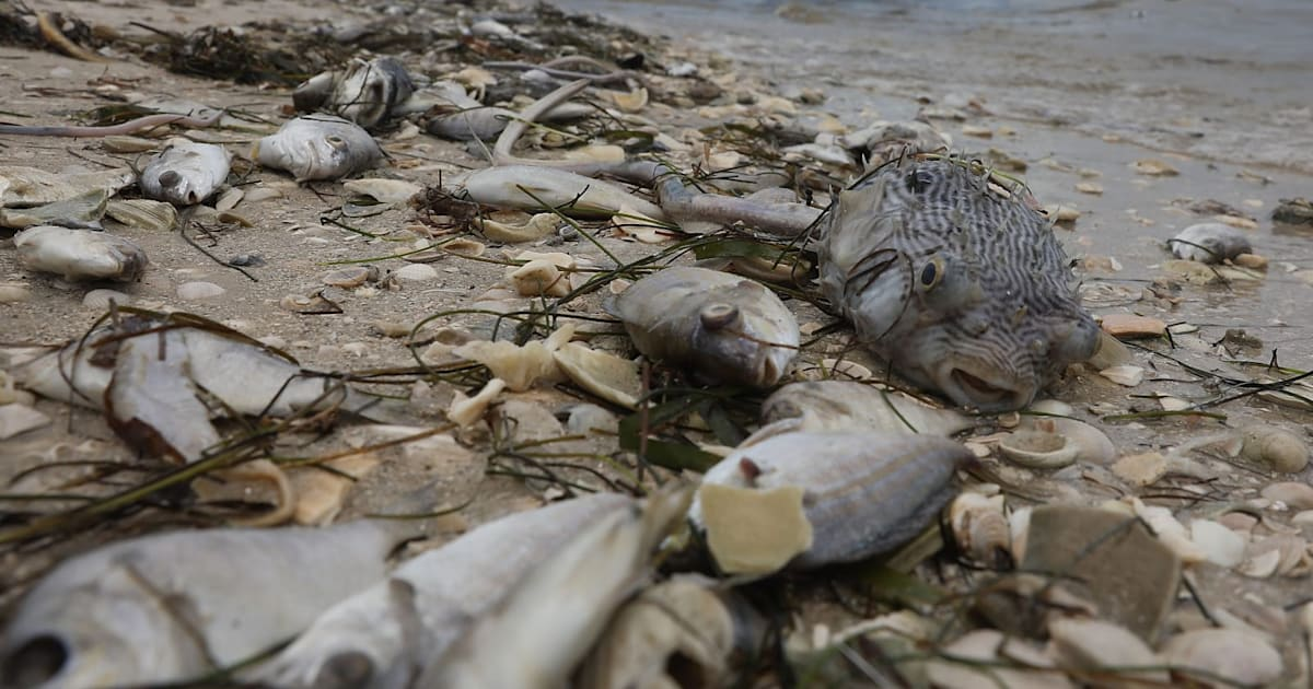 Scientists struggling to eradicate toxic 'red tides' from Florida's coast