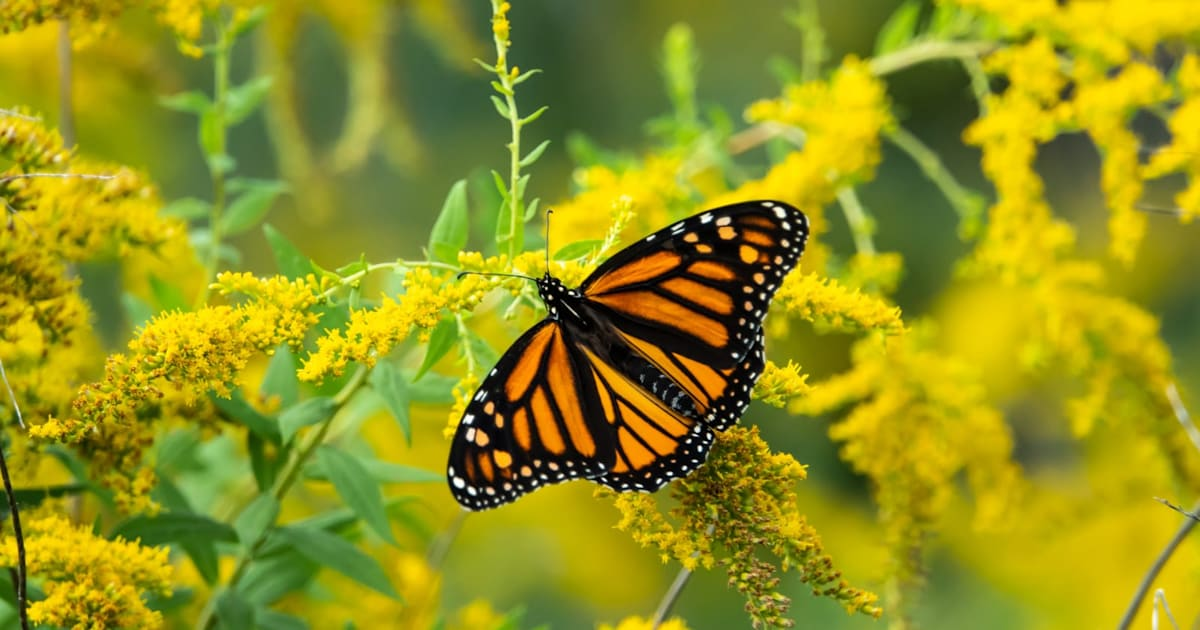 App allows citizen scientists to track monarch butterfly migration 1