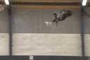 不審ドローン対策の切り札になるか。オランダ警察、鷲にドローン捕獲を訓練中