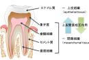 東北大学がエナメル質の人工形成に成功。歯科治療への応用目指し一歩前進