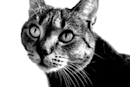 Where OS X 'Big Cat' code names REALLY come from