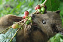 Scientists look to take the pooping out of civet coffee