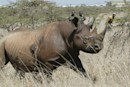 Scientists turn to crowdfunding to safeguard black rhino DNA