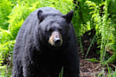 Bears don't like being filmed by drones either