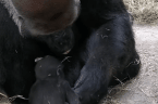 Dallas Zoo Pays Tribute to Endangered Silverback Gorilla on Father's Day