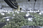 Large 'Cannabis Factory' in Former Bingo Hall Found by British Police