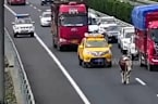 Cow strolls along busy motorway after falling from a transport truck in China