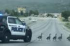 Alabama Police Escort Gaggle of Geese Across Highway