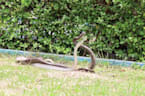 Two risqué snakes caught mating in broad daylight at Thai park